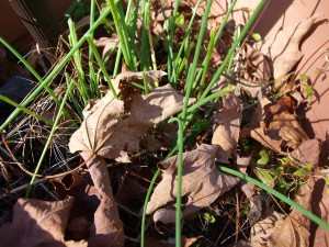 image of chives and brown leaves