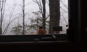 image of a robin at a window